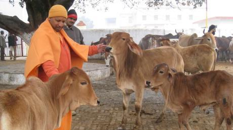 Yogi Adityanath feeding cows
