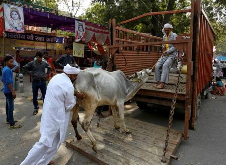 Cow being transported for slaughter