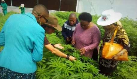 Lesotho Cannabis Farm