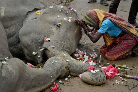 Electrocuted elephant in Odisha