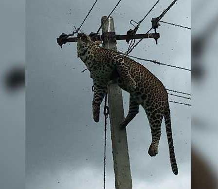 Leopard electrocuted in Telangana