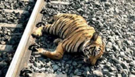 Tiger killed by train in WB