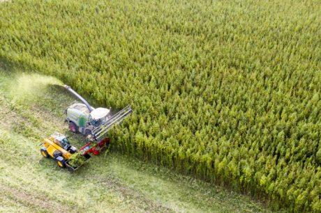 Harvesting cannabis in Naundorf, Germany.