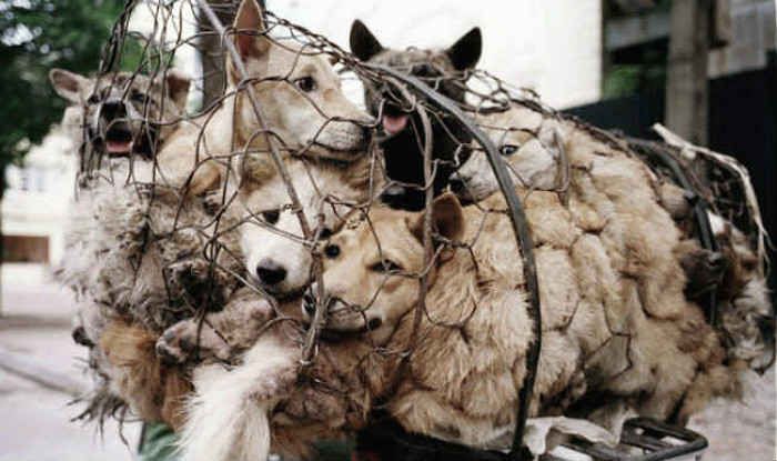 Dogs for slaughter in China